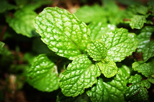 Amazing health benefits of coriander and mint in 2021